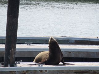 Many seals were at the pier